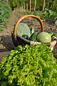Organic harvest of squashes, cabbages and curly leaves lettuce, Hérault, France