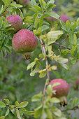 Pomegranate tree and fruits, pomegranates, Hérault, France
