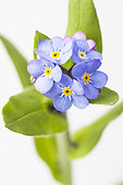 Field Forget-me-not (Myosotis arvensis) on white background