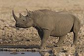 Black Rhinocéros (Diceros Bicornis) at the waterhole, Etosha, Namibia