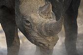 Black Rhinocéros (Diceros Bicornis) portrait, Etosha, Namibia