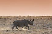Black Rhinoceros (Diceros bicornis) walking at dusk, Etosha, Namibia