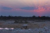 Black Rhinocéros (Diceros Bicornis) at the waterhole at the sunet time, Etosha, Namibia