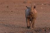 Black Rhinocéros (Diceros bicornis) at the sunet time, Etosha, Namibia