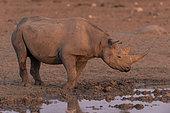 Black Rhinocéros (Diceros bicornis) drinking at the sunet time, Etosha, Namibia