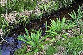 Deer fern or hard fern, (Struthiopteris spicant) along creek, Normandy, Bellème forest, France