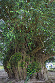 Yew Millennium beside the church in the cemetery, Estry, Calvados, Noramndie, France