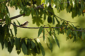 Spotted Flycatcher (Muscicapa striata) on a Cherry tree, Alsace, France