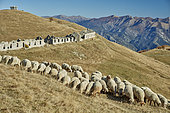 Ewes on the mountain pasture, Meat-type breed, Authion massif, Mercantour, Alpes, France