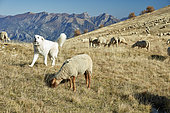 Mountain dog and Ewe on the mountain pasture, Meat-type breed, Authion massif, Mercantour, Alpes, France