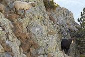 Ewbed sheep looking for the Chamois des Alpes (Rupicapra rupicapra), Mercantour, Alpes, France
