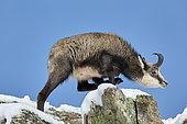 Alpine Chamois (Rupicapra rupicapra), Mercantour, Alpes, France