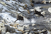 Alpine Chamois (Rupicapra rupicapra), rutting period in November, Mercantour, Alpes, France