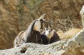 Alpine Chamois (Rupicapra rupicapra), female and young, Mercantour, Alpes, France