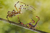 Argiope and scorpion fighting