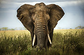 African Elephant (Loxodonta africana) in the savanna, Serengeti, Tanzania