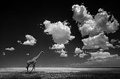 Giraffa (Giraffa camelopardalis) walking in plain with clouds, Serengeti, Tanzania