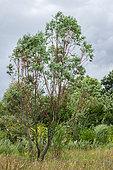 Alpine snow gum (Eucalyptus pauciflora var. niphophila)