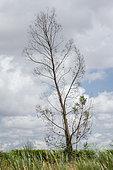 Young Eucalyptus (Eucalyptus gunnii) frozen in winter (-15°C)