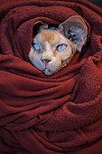 Sphinx cat in a blanket