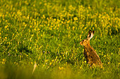 European hare (Lepus europaeus) in a flowery field in spring, Alps, France