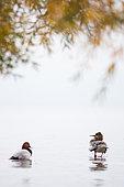 Common merganser (Mergus merganser) and Common pochard (Aythya ferina) on a bank of the lake of Geneva, Lausanne, Switzerland