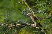 European honey buzzard (Pernis apivorus) on a branch at the edge of a field, Occitanie, France