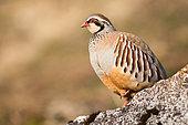 Red-legged partridge (Alectoris rufa) on a rock, Alps, France