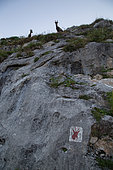 Alpine Ibexes (Capra ibex) and indication of their presence on a rock, Chablais mountains, Alps, France