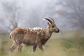 Female ibex (capra ibex) losing its winter hair, Jura mountains, Switzerland