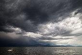 Mute swan (Cygnus olor) under a stormy sky on the lake of Geneva, Lausanne, Switzerland
