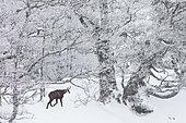 Chamois des Alpes (Rupicapra rupicapra) marchant dans la neige, massif du Jura, Suisse