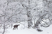 Chamois (Rupicapra rupicapra) walking in the snow, Jura mountains, Switzerland