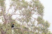 Borneo Rhinoceros hornbill (buceros rhinoceros borneensis) in the canopy, Sabah, Borneo, Malaysia