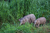Borneo pygmy elephant (elephas maximus borneensis) walking on a bank of Kinabatangan river, Sabah, Malaysia