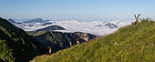 Group of alpine ibexes (Capra ibex) grouped for the summer, above the sea of clouds, Chablais mountains, Alps, France