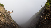 Alpine ibexes (capra ibex) in a rock cliff in the fog, Chablais mountains, Alps, France).