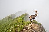 Male alpine ibex (capra ibex) in the fog, Chablais mountains, Alps, France