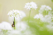 Garden snail (Helix aspersa aspersa) climbing on a Ramsons (Allium ursinum) flower, Alps, France
