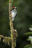 Acorn woodpecker (Melanerpes formicivorus stristipectus), Talamanca Mountains, Costa Rica