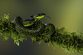 Talamanca Pit Viper (Bothriechis nubestris), on mossy branch, Talamanca Mountains, Costa Rica, July