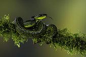 Talamanca Pit Viper (Bothriechis nubestris), on mossy branch, Talamanca Mountains, Costa Rica, July