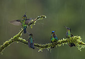 Magnificent hummingbird (Eugenes fulgens), and Fiery-throated hummingbirds (Panterpe insignis) under rain, Talamanca Mountains, Costa Rica, July