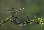 Magnificent hummingbird (Eugenes fulgens), and Fiery-throated hummingbirds (Panterpe insignis) under rain, Talamanca Mountains, Costa Rica, July
