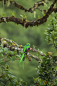 Resplendent Quetzal (Pharomachrus mocinno), Male in moulting plumage, Talamanca Mountains, Costa Rica, July