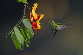 Steely-vented hummingbird (Amazilia saucerrottei), hovering and facing wasps feeding on flower, Costa Rica, July