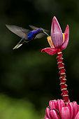 Violet sabrewing (Campylopterus hemileucurus), male feeding on ornamental banana flower, Costa Rica