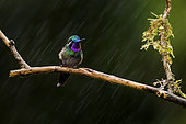 Purple-throated Mountain-gem (Lampornis calolaemus), male in the rain, Costa Rica