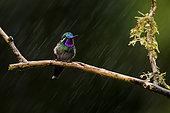 Purple-throated Mountain-gem (Lampornis calolaemus), male in the rain, Costa Rica