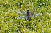 White-faced dragonfly (Leucorrhinia dubia), on sphagnum in summer, Bog of Lispach, Vosges, France